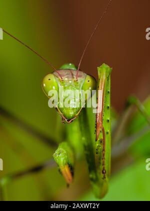 Primo piano di un mantis in preghiera