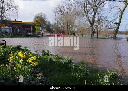 Narcisi vicino all'acqua alluvionale che copre una strada dal fiume Severn da Storm Dennis. 02.16.2020. Upton On Severn, Worcestershire, Regno Unito. Foto Stock