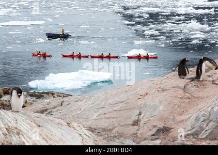 Pinguini Gentoo nidificano sull'isola di Peterman vicino al canale di Lemaire, Graham Land, Antartide con turisti provenienti da una nave da crociera di spedizione kayak in mare