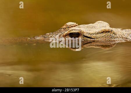 Coccodrillo del Nilo (Crocodylus niloticus), ritratto, alla superficie dell'acqua, Sudafrica, Mpumalanga, Parco Nazionale Kruger