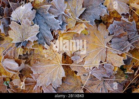 foglie di acero autunnale con brina sul terreno. Foto Stock