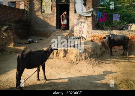 Donna in abiti tradizionali alla porta di una piccola casa di mattoni e bufala famiglia fuori nel villaggio rurale vicino Vrindavan, Uttar Pradesh, India.