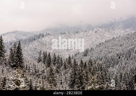 Windfall in foresta. Danni causati dalla tempesta. Alberi caduti nella foresta di conifere dopo un forte vento di uragano in Romania. Foto Stock