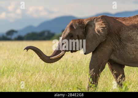 Un safari in piedi, tenda e jeep attraverso la Tanzania settentrionale alla fine della stagione delle piogge nel mese di maggio. Parchi Nazionali Serengeti, Ngorongoro Crater, Tarangire, Arusha E Lago Manyara. Elefante, tronco teso in avanti.