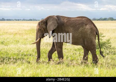 Un safari in piedi, tenda e jeep attraverso la Tanzania settentrionale alla fine della stagione delle piogge nel mese di maggio. Parchi Nazionali Serengeti, Ngorongoro Crater, Tarangire, Arusha E Lago Manyara. Elefante nella savana