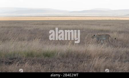Un safari in piedi, tenda e jeep attraverso la Tanzania settentrionale alla fine della stagione delle piogge nel mese di maggio. Parchi Nazionali Serengeti, Ngorongoro Crater, Tarangire, Arusha E Lago Manyara. Leone nel Serengeti.