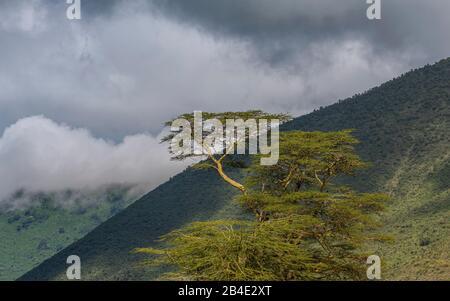 Un safari in piedi, tenda e jeep attraverso la Tanzania settentrionale alla fine della stagione delle piogge nel mese di maggio. Cratere del Parco Nazionale di Ngorongoro, albero sul bordo del cratere.