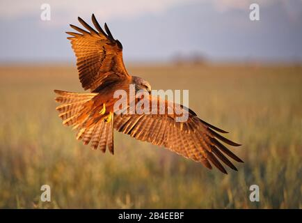 Aquilone nero (Milvus migrans) in volo, Castilla-la Mancha Spagna