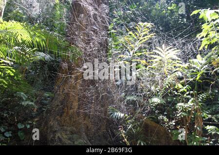 La meravigliosa architettura ragno web di un ragno nella foresta del Borneo Foto Stock