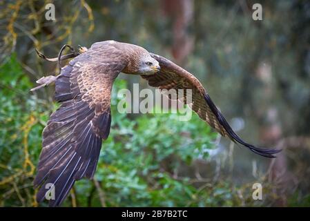 Black Kite in volo (Milvus migrans) Falconry
