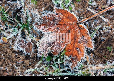 Congelato solo foglia di acero d'autunno in gelo a terra Foto Stock