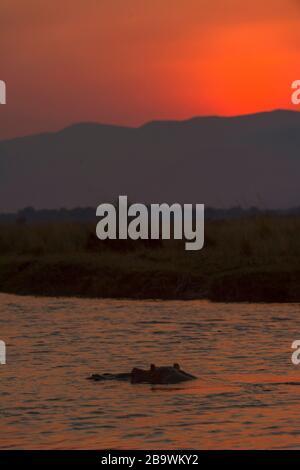 Un Hippopotamus visto nel fiume Zambesi al tramonto, Mana Pools National Park, Zimbabwe. Foto Stock