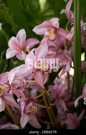 Cymbidium fiori colorati Foto Stock