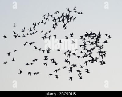 Flock of Black-Tailed Godwit (Limosa limosa) in volo, silhouette contro un cielo serale, Ouse washes, Cambridgeshire, Inghilterra Foto Stock