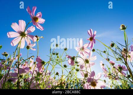 i fiori di cosmos sono fioriti, al mattino, quando il cielo era blu