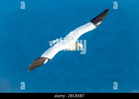 Gannet, un Gannet del Nord (nome scientifico: Morus bassanus) che vola sopra le scogliere a Bempton, Yorkshire. Ampia apertura alare e sfondo blu pulito. Foto Stock