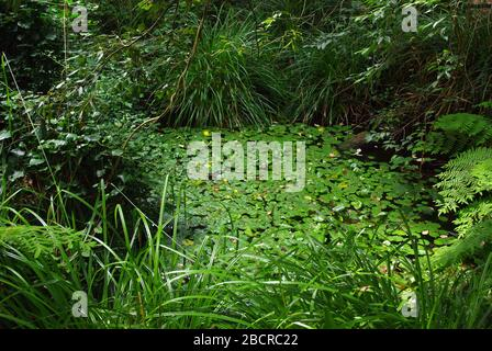 Laghetto selvaggio europeo (Italia centrale) Foto Stock
