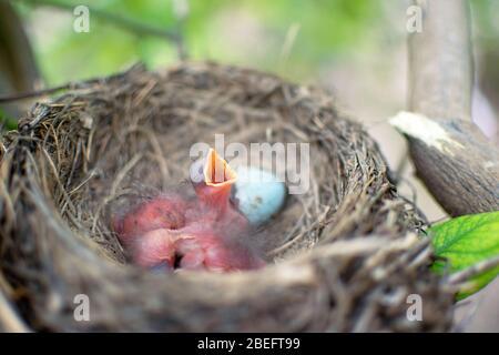 Tre uccelli neonati Blackbird o American Robin in un nido che chiede la loro madre. I bambini affamati sono ancora ciechi e non hanno piume. Sono solo