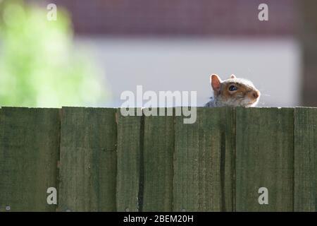 Londra, Regno Unito. 14 Aprile 2020. Tempo del Regno Unito, 14 aprile 2020: Uno scoiattolo grigio nel sobborgo di Lnodon di Clapham suona peek-a-boo con il fotografo da dietro una recinzione. Anna Watson/Alamy Live News