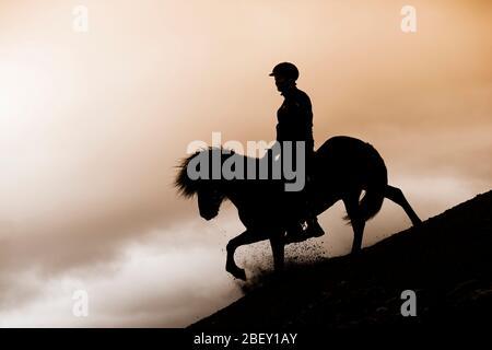 Cavallo islandese. Pilota su stallone nero su un pendio, con silhouette contro il cielo serale. Islanda Foto Stock