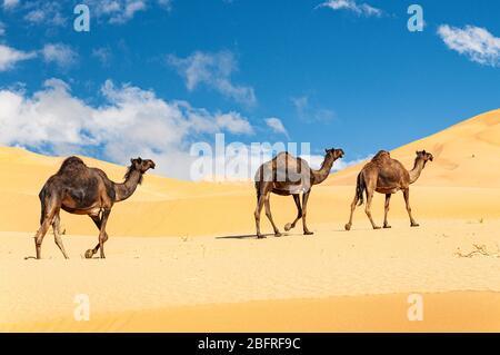 Gruppo di dromedari nel bellissimo deserto di Omani Rub al-Chali
