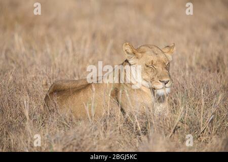 Busanga Plains, una destinazione esclusiva per safari nel Parco Nazionale di Kafue, Nord-Occidentale, Zambia, è sede di un orgoglio di leoni africani, Panthera leo.