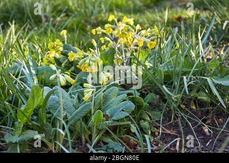 Peat Lane, Bewerley, Harrogate, North Yorkshire, Inghilterra, Regno Unito. 19/04/20. Wild cowslip crescere naturalmente in bosco in piccola tenuta a Nidderdale