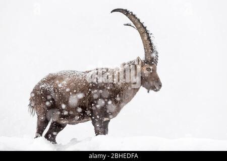 Richiamo del selvaggio ritratto dello stambecco alpino sotto la tempesta di neve (Capra stambex)