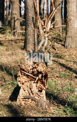 Tronco di vecchio pino caduto. Windfall in Forest. Danni da tempesta. Fallen Tree in Coniferous Forest dopo forte uragano Wind Foto Stock