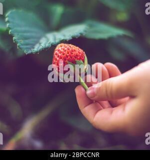 la mano del bambino tiene una fragola matura nel giardino Foto Stock