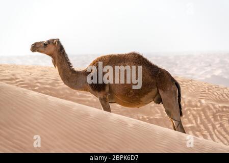Un unico solitario permanente del cammello tra le dune di sabbia nel deserto del Sahara vicino a Douz, Tunisia Foto Stock