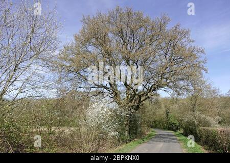 Strada di campagna stretta e paesaggio nella campagna dell'Essex con crescita di primavera su strada inglese quercia albero e fiore bianco in rurale hedgerow Inghilterra UK Foto Stock