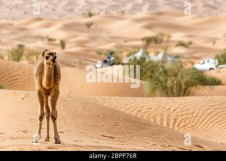 Giovani cammello da soli in piedi tra le dune del deserto del Sahara vicino a Douz, Tunisia Foto Stock