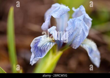 Primo piano di un fiore di iride bearded su sfondo naturale sfocato. Il fiore blu dell'iride sta crescendo in un giardino.