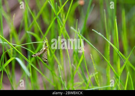 zanzara multicolore, insetti primaverili su sfondo verde