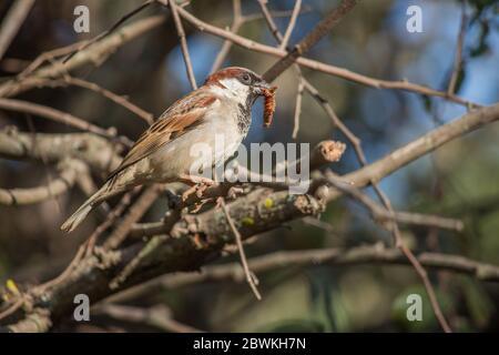 Casa Sparrow (Passer domesticus) arroccato su un ramo di albero con un bug nel suo becco