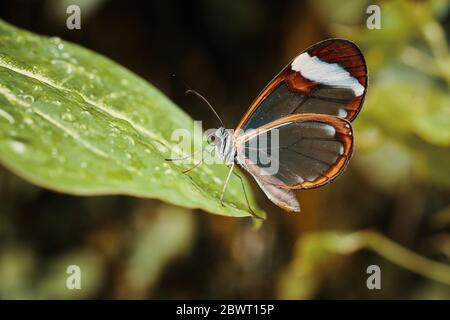 Farfalla di vetro (Greta Oto) Foto Stock