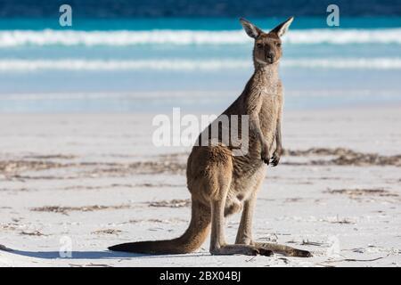 Un canguro singolo sulla spiaggia di Lucky Bay nel Parco Nazionale di Cape le Grand, vicino a Esperance, Australia Occidentale Foto Stock
