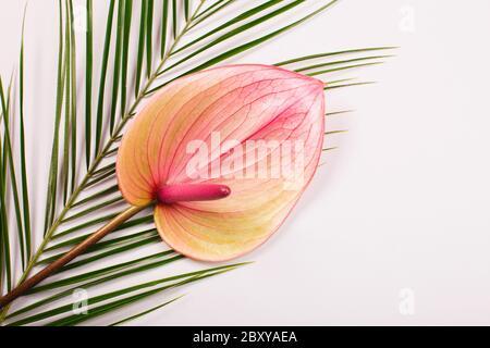 Anturio rosa e foglia di palma su sfondo grigio. Modello tropicale, stile piatto.