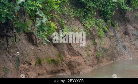 Riva del fiume con una varietà di piante selvatiche che strisciano per prevenire l'erosione Foto Stock