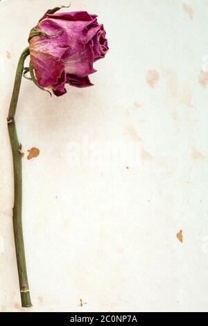 Una rosa secca Foto Stock