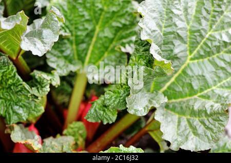Rabarbaro che cresce sul closeup fiorito Foto Stock