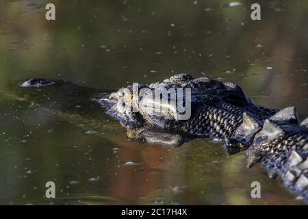 Primo piano di un coccodrillo d'acqua salata che galleggia sulla superficie del fiume, acqua gialla, Parco Nazionale di Kakadu, Foto Stock