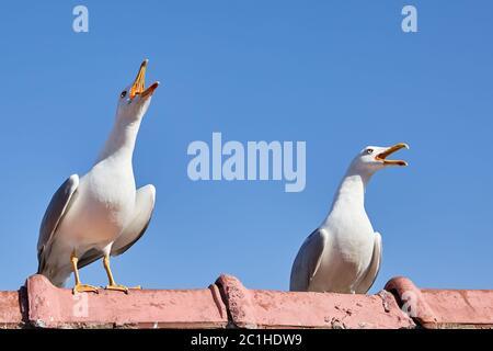 Due pulcini di gabbiani sono seduti su una recinzione con bechs aperti, contro un cielo blu. Foto Stock