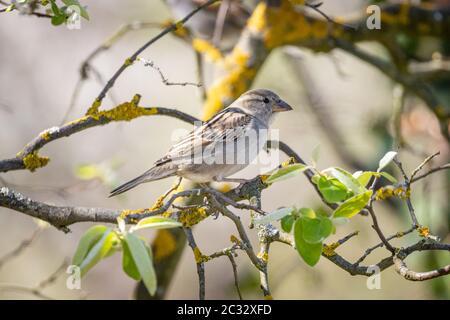 Casa passera (Passer domesticus) su un albero