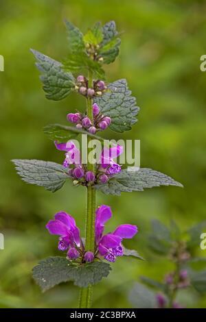 """Ortica rossa """"Lamium purpureum"""""""