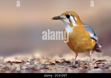 Il thrush con la testa arancione è un uccello della famiglia dei thrush. È comune in aree ben boscose del subcontinente indiano e del sud-est asiatico. Più popolare