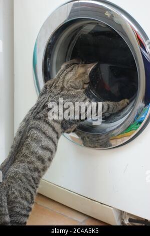 Curioso gattino di gatto tabby che gioca con la lavanderia in pancia nella lavatrice Foto Stock