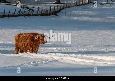 Una mucca di montagna che si trova nel mezzo di un campo innevato nelle Highlands della Scozia durante un tramonto invernale Foto Stock
