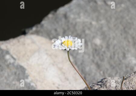 Lone daisy crescente nelle crepe nei massi al bordo dell'acqua, Llandrindod Lake, Mid Wales